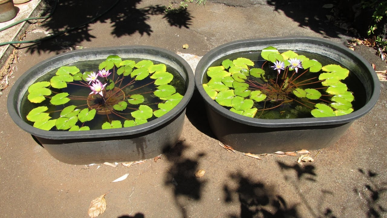 Guppies And Water Lilies In Tubs Simple Easy Setup Youtube