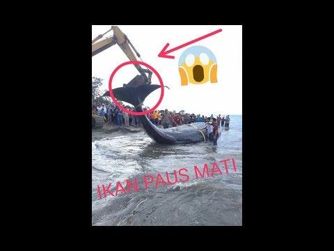 Ikan paus terdampar mati di pantai ujong kareung aceh besar