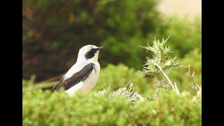 Curs d'identificació d'aus. 7 - De les aloses als tords