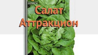 Салат обыкновенный Аттракцион Кочанный 🌿 обзор: как сажать, семена салата Аттракцион Кочанный