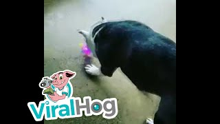 Pet Pals Unsure of Bouncy Toy || ViralHog