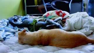 Siberian Husky Puppy & Sister, Lab-beagle Mix At Play