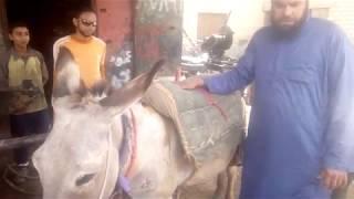 الشيخ حمدي راح يلحم الحمار في ورشة اللحام هتفتص من الضحك