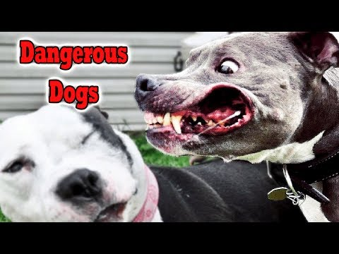Top 10 Most Dangerous Dogs Breeds Tosa Inu  American Bandogge Cane CorsoBull Terrier Rhodesian