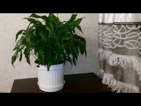 Спатифиллум / Цветок Женское счастье Уход в домашних условиях Полив