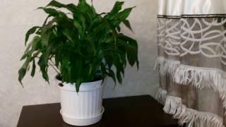 видео Как ухаживать за цветком женское счастье в домашних условиях