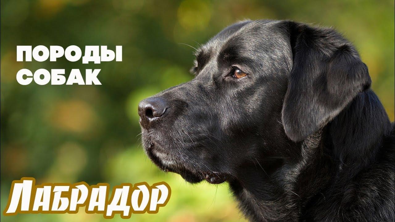 собака породы лабрадор фото