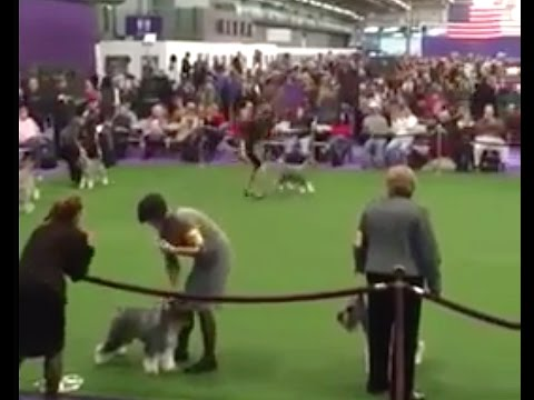 Leslie Shriner and Frodo at 2017 Westminster Dog Show