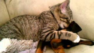 Winston (kitty) Takes Care Of Zeke (puppy).3gp