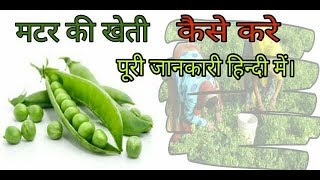 कैसे करें मटर की खेती | मटर की खेती की पूरी जानकारी | How to Grow Green Peas