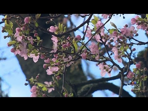Signs Of Spring In Victoria In Midst Of Winter In Canada