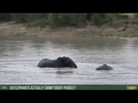 May 01, 2017- Sunrise- Splish Splash its swim time- Amazing Elephant Behaviour