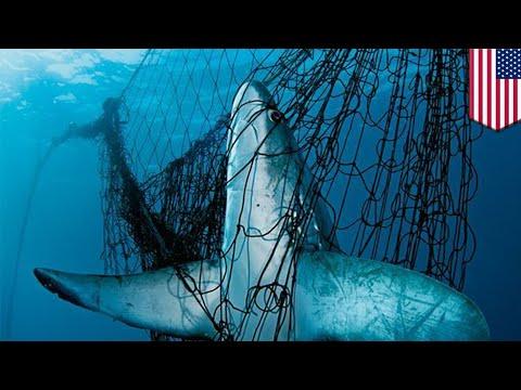 Shocking Shark Video Prompts Calls To Ban Drift Nets - TomoNews