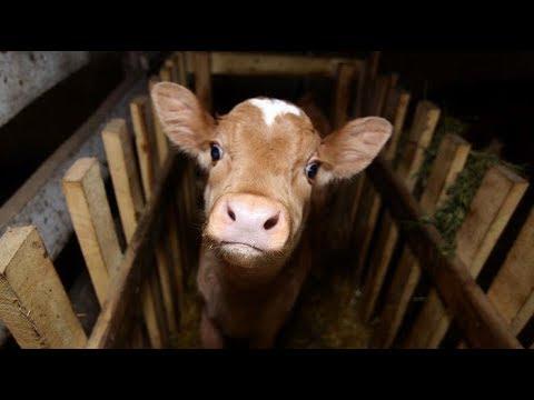 Вопрос: Как выбрать дойную корову?