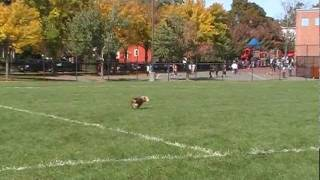 Dog Catching Frisbee (better Dog Training)