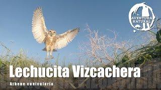 LECHUCITA VIZCACHERA - Athene cunicularia