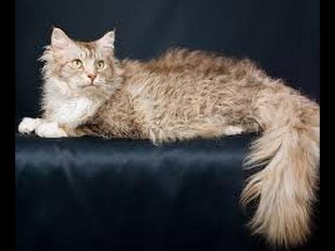 LaPerm cat Longhair cat