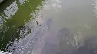 ตกปลาช่อนอะเมซอน