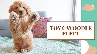 PUPPY 8 TO 10 WEEKS   CLIFFORD TOY CAVOODLE