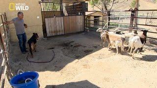 Bodie le chien tueur de chèvres