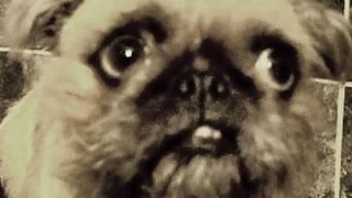 Very Cute Smiling Pug Zu 2015