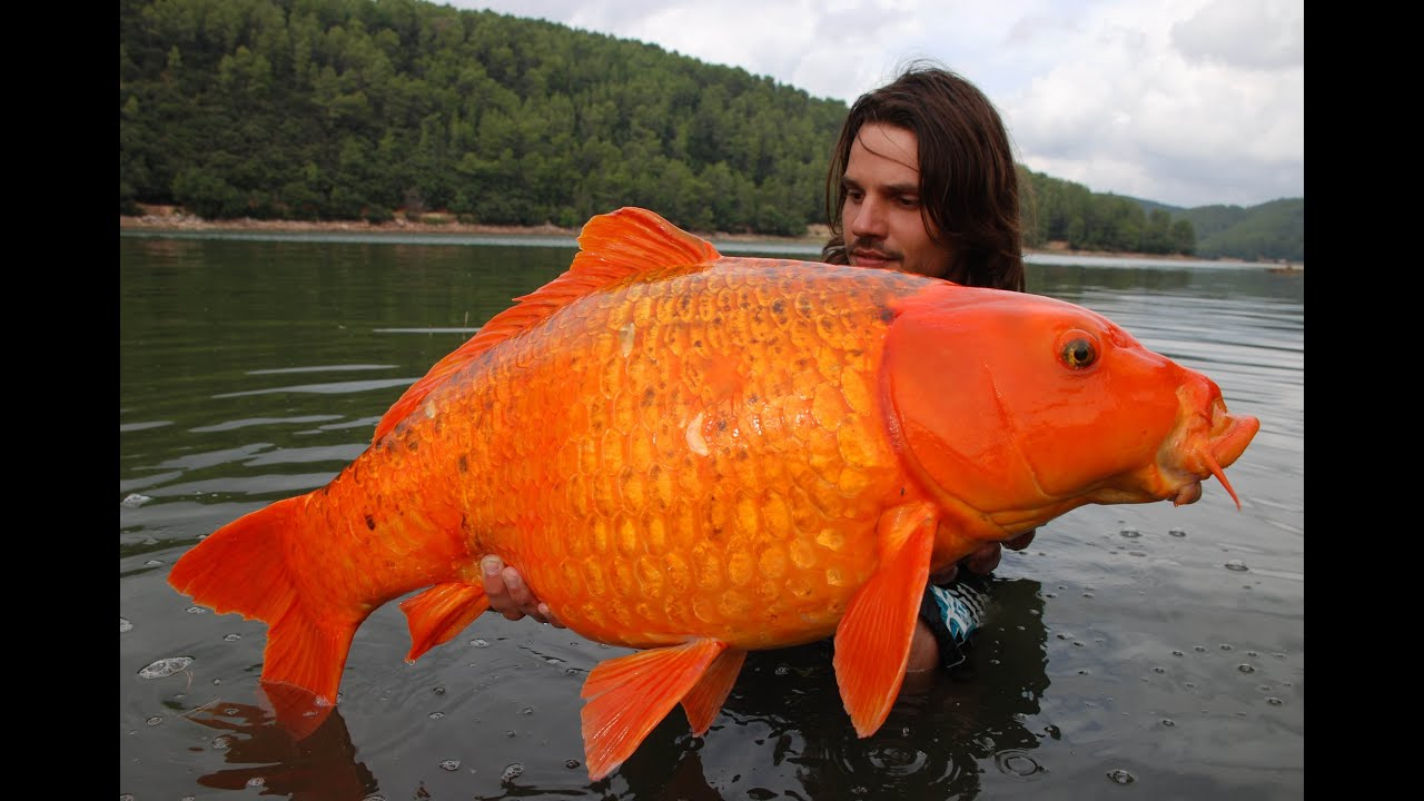 Most famous giant goldfish in the world rapha l biagini for Maladie du miroir