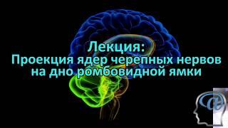 Проекция ядер черепных нервов на дно ромбовидной ямки. Лекция