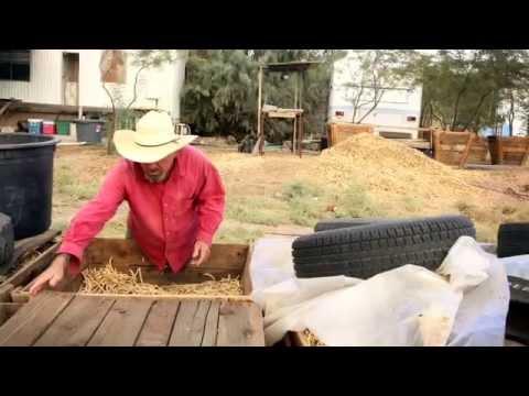 Mesquite pods farming in Arizona - Mark Moody