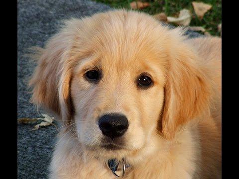 Golden retriever puppy bath
