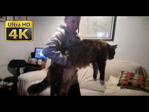 world's-biggest-maine-coon-cat
