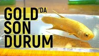 Gold Hmpk Beta Balığı Üretiminde Son Durum Nedir ?