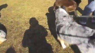 Aussie a GO GO 関西オフ会でのDiana & Apollo 2015.12.5(土) ドギーズ...