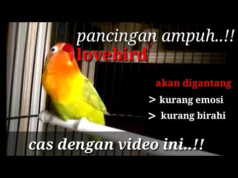 Lovebird Malas Bunyi Pancing Dengan Video Ini // Pancingan Lovebird Ngekek