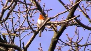 Robin Red Breast Singing for Spring 2013 Erithacus Rubecula British Birds Wildlife UK