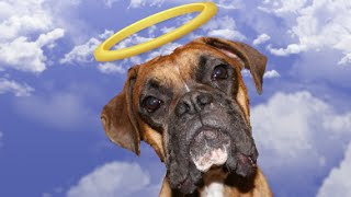 R.i.p.   Izzy The Boxer : We Will Always Love You