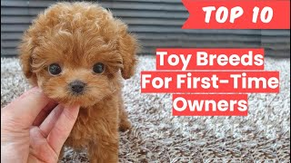 Toy Breeds for First Time Owner (Top 10)