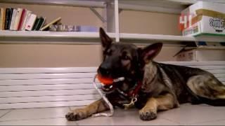 Служебные собаки ищут наркотики