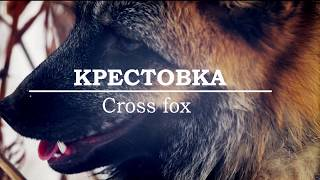 🐺 Окрасы лис. Крестовка/ Cross Fox