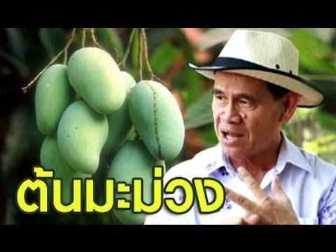 เกษตร Society 21/4/57 : ปลูกต้นมะม่วงให้ถูกหลัก ออกผลให้ถูกใจ