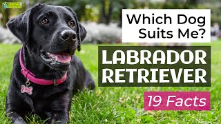 Is a Labrador Retriever the Right Dog Breed for Me? 19 Facts About Labrador Retrievers!