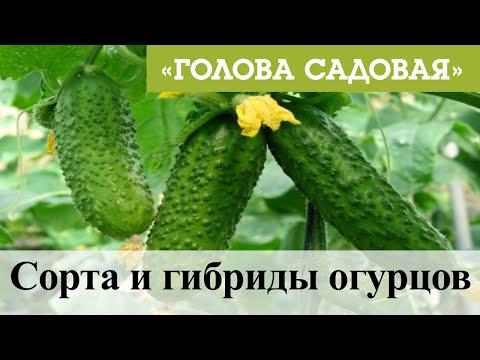 Голова садовая - Сорта и гибриды огурцов