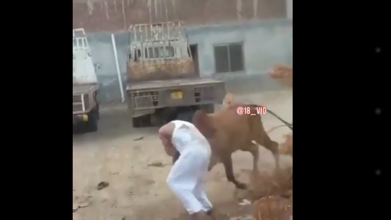 Dangerous cow run away  خطرناک گائیں جس نے آدمی اڑا دیا۔