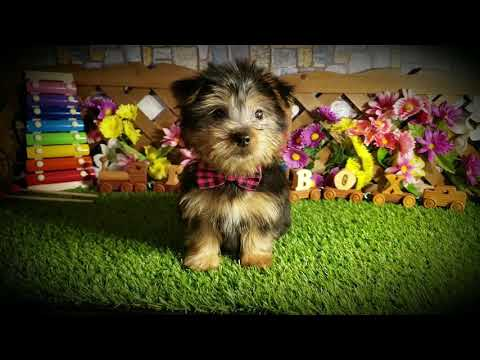Silky Terrier Puppy for sale TBP's Kinzie is here at ToyBox Puppies. Barnett, Missouri.(2)