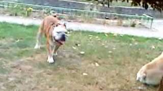 English Bulldog Mail & Female