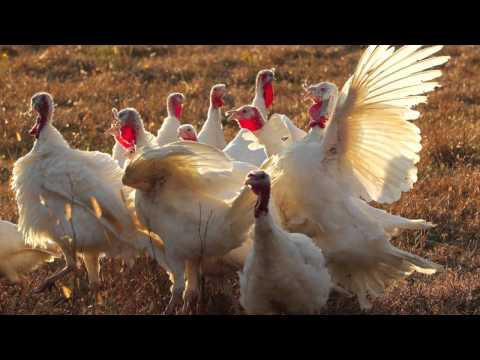 Raising heritage Beltsville turkeys