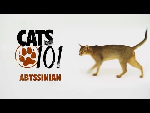101 Cats (Animal planet) - ABYSSINIAN, на русском.