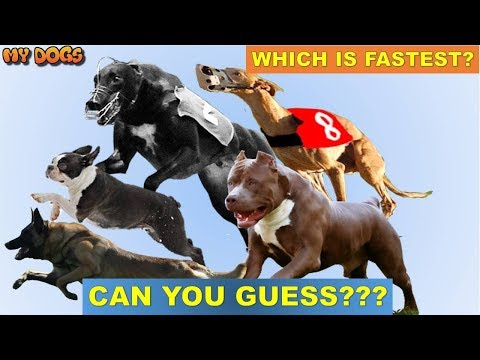 Can You Guess The DOG BREEDS which is FASTEST.