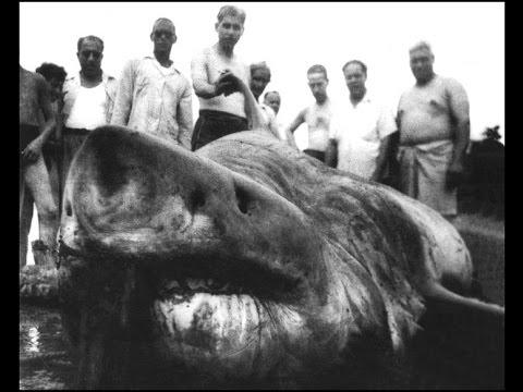 El Tiburón Blanco Más Grande Del Mundo Se Pescó En Cuba Youtube
