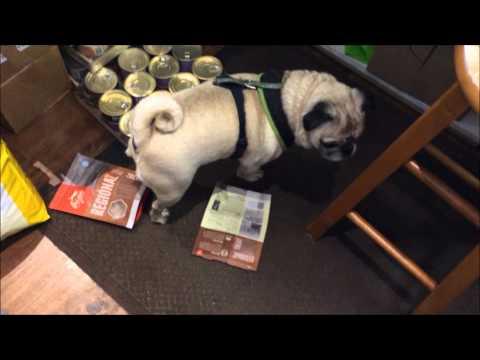 Naughty Pug Caught Stealing Treats