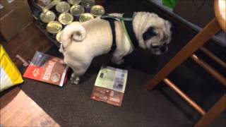 Naughty Pug Caught Stealing Treats